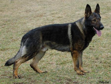 ... Breeder DC - German Shepherd Breeder NY - German Shepherd Breeder NJ
